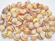 100 Pcs Yellow Stripped Helicostyla Annulata Seashell Craft