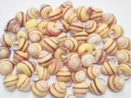 100 Pcs Yellow Stripped Helicostyla Annulata Seashell Craft