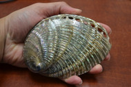 "Both Side Polished Green Abalone Seashell 5"" - 5 1/2"""