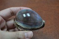 "Purple Top Cowrie Seashell 2 1/2"" - 3"""