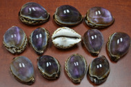 "12 Pcs Purple Top Cowrie Seashell 2 1/2"" - 3"""