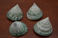 4 Pcs Green Pearl Trochus Top Conus Cone Seashell