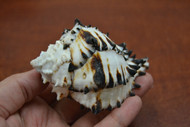 "Black Murex Conch Hermit Crab Shell 3 1/2"" - 4"""