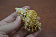 "Frog Hermit Crab Shell 3"" - 3 1/2"""