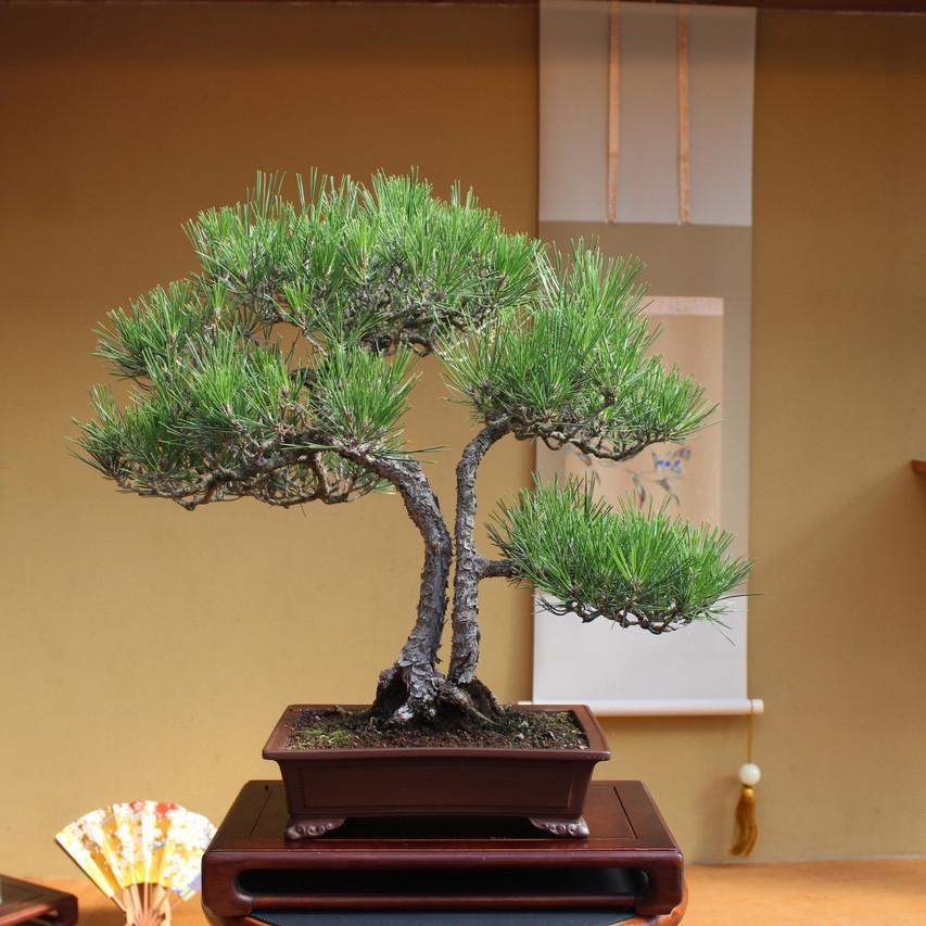 Astounding Japanese Black Pine Twin Trunk New England Bonsai Gardens Wiring Digital Resources Jebrpcompassionincorg