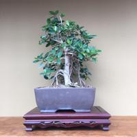 Green Island Ficus (GI604)