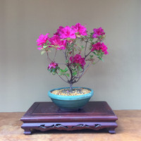 Beautiful Pink Flowering Azalea Bonsai Tree