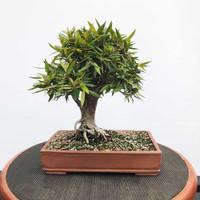 Willow Leaf Ficus In Handmade Paul Olson Pot (WEB302)