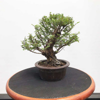 Cork Bark Chinese Elm (WEB388)