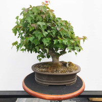 Trident Maple (WEB390)