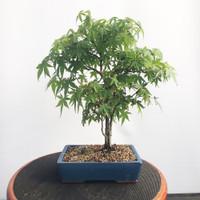 Japanese Maple (WEB459)