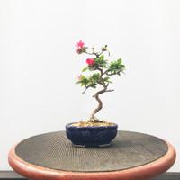 Imported Satzuki Azalea 'hibainishiki' (Web491)