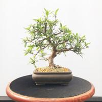Imported Satzuki Azalea (Web493)