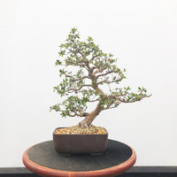 Imported Satzuki Azalea 'hinomaru' (Web519)