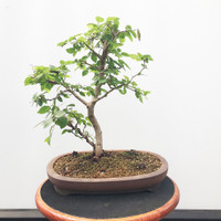 Korean Hornbeam (WEB530)