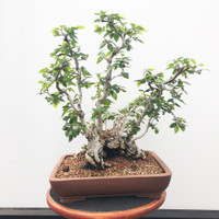 OLD XL Korean Hornbeam Clump (WEB535)