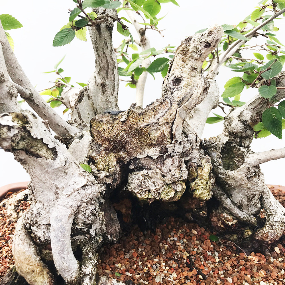 New England Bonsai Gardens Excellence In Since 1987 Wiring Wisteria Quick View