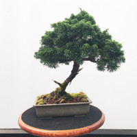 Pre-Bonsai Shimpaku Juniper - FREE Shipping (WEB542)