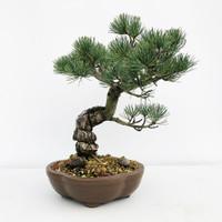Imported Japanese White Pine (JWP2018002)