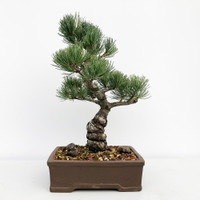 Imported Japanese White Pine (JWP2018005)