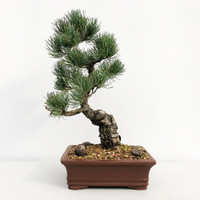 Imported Japanese White Pine (JWP2018006)