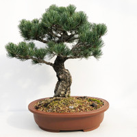 Imported Japanese White Pine (JWP2018011)