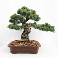 Imported Japanese White Pine (JWP2016013)