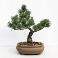 Imported Japanese White Pine (JWP2018017)