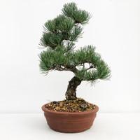 Imported Japanese White Pine (JWP2018018)