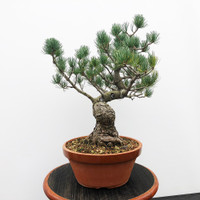 Imported Japanese White Pine (JWP2018024)