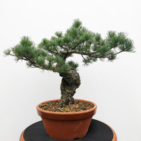 Imported Japanese White Pine (JWP2018025)