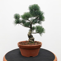 Imported Japanese White Pine (JWP2018035)