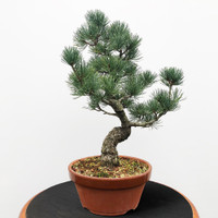 Imported Japanese White Pine (JWP2018033)