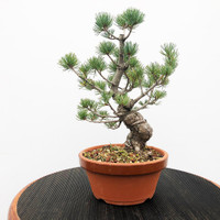 Imported Japanese White Pine (JWP2018034)