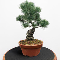 Imported Japanese White Pine (JWP2018038)