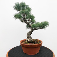 Imported Japanese White Pine (JWP2018037)