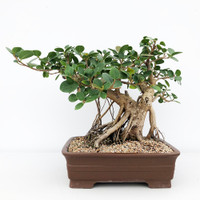 Green Island Ficus in Masculine Yixing Pot (WEB636)