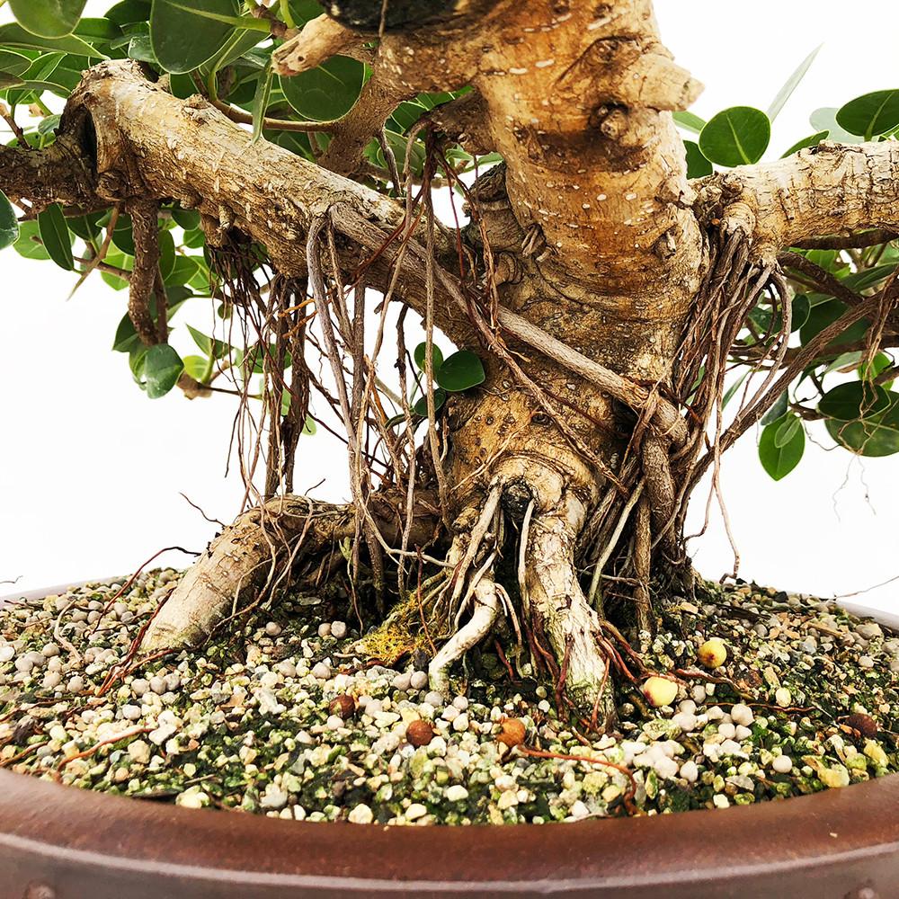 Awe Inspiring New England Bonsai Gardens Excellence In Bonsai Since 1987 Wiring Cloud Ratagdienstapotheekhoekschewaardnl
