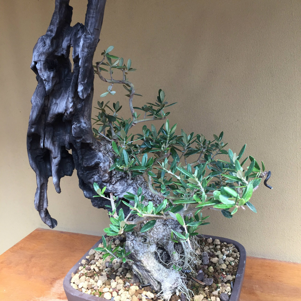 New England Bonsai Gardens Excellence In Since 1987 Wiring For Beginners Quick View